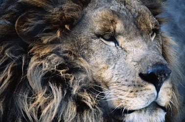 african-lion-5695